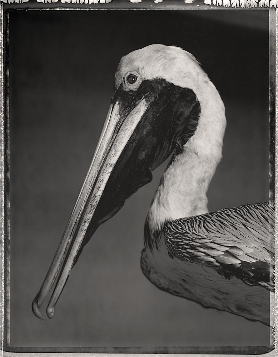 Brown Pelican, Pelecanus occidentalis, #1