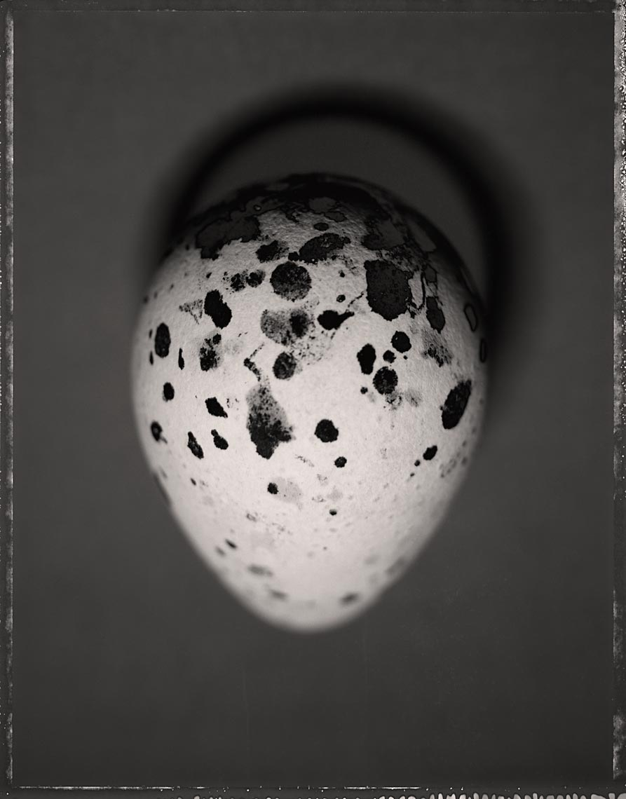 Common Murre Egg, Uria aalge, #2