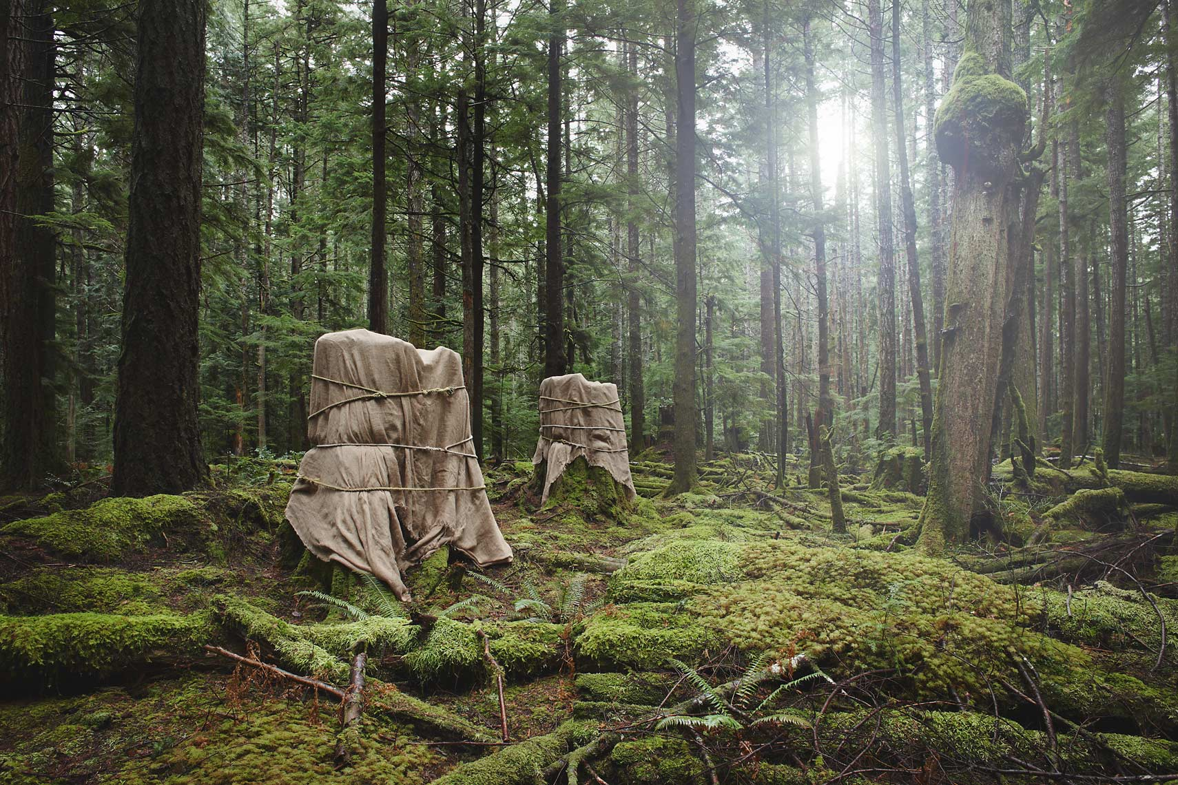 Wrapped old growth stumps from a fine art photograph  series about deforestation, environment and climate change
